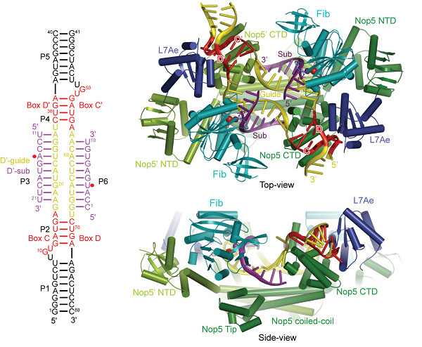 China Education Equipment Purchasing Network C / D RNA protein complex structure diagram