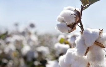 Analysts say domestic cotton prices may rise