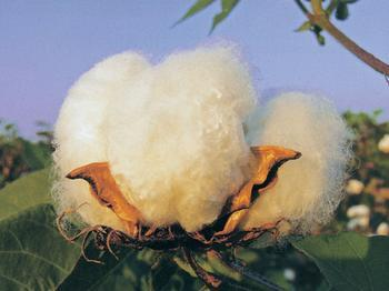Cotton rebounded US cotton new flower bud rate 97%
