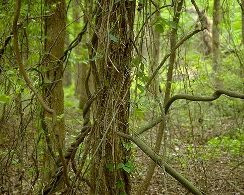 雨林中的藤条