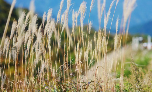 Miscanthus: the latest energy crops debut