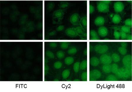 Dylight fluorescent secondary antibody