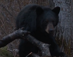 Hunting Brown Bear with Crossbow in Ontario
