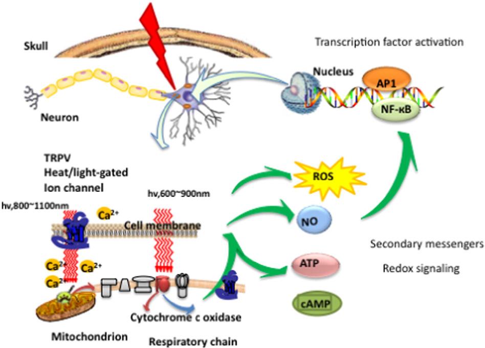 mechanisms for PBM.png