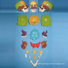 Modelo natural do esqueleto do crânio humano para o ensino médico (R050130)