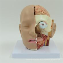 Nueva cabeza plástica anatómica con cerebro