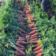 Овощ для продажи реликвия УГ семян моркови гибридные Ф1 код возделывания сельскохозяйственных семян посев plantting сеятеле (51005)