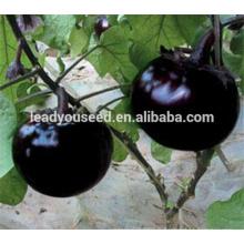ME16 Heime noir brillant peau ronde graines d'aubergines pour l'air libre