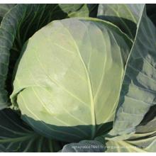 HC53 Yaer résistant à la chaleur, rondes graines de chou hybride F1 vert foncé