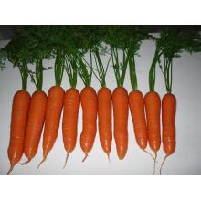 Couleur rouge de carotte fraîche de bonne qualité vue commune