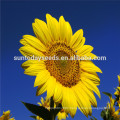 Suntoday edible and non edible hs code seeds vegetable international vegetables names Organic sunflower seeds(91002)