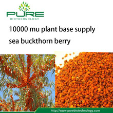 10000 mu plant base supply sea buckthorn berry