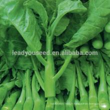 KL01 Jinzuan fleur blanche vert graines de brocoli chinois kailan graines
