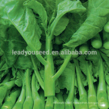 KL01 Jinzuan white flower green chinese broccoli seeds kailan seeds
