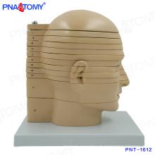 PNT-1612 Lebensgroße Disc Kopf Gehirn Anatomisches Modell