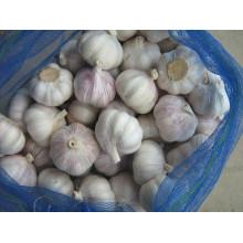 Nuevo ajo blanco puro de cultivo (5.5cm y más)