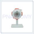 PNT-0661 Venta caliente ampliada modelo de ojo humano