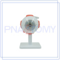 PNT-0661 good quality Human eye model and parts for medical use