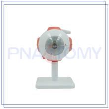 PNT-0661 logo personnalisé Anatomie eyelball modèle de haute qualité