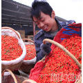 Lowpesticide Goji Berry (a little of pesticide residue)