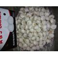 Frischer neuer Ernte-reiner weißer Knoblauch