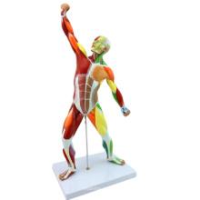 Kaufen Sie ein Set Nr. 12308 Kunststoff 55cm Mini menschlichen Muskel Anatomie Modell, menschliche anatomische Modelle