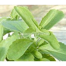 Hochwertige Steviosides & Rebaudioside a - Stevia