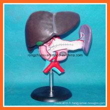 Modèle anatomique du foie, du pancréas et du duodénum en plastique anatomique