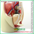 SELL 12440 Life Size Pelvis Section Anatomical Model 3part Anatomy