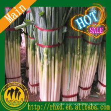 2015 New Listing fresh green onion and Fresh Green Scallion Price