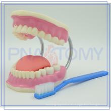 PNT-0520 plástico grande Cuidado dental 28 dientes Modelo con cepillo de dientes