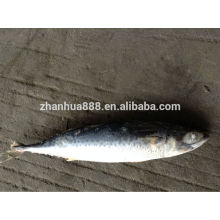 top quality export fish frozen mackerel from pacific frozen seafood fish