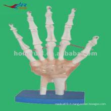 Modèle anatomique Modèle à squelette à main, Modèle à la main Anatomique