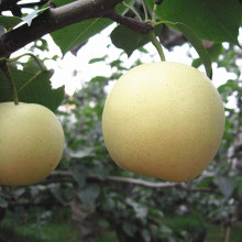 Eporting Quality Fresh Golden Pear/Crown Pear