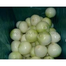 Новый урожай свежесобранного желтого лука; Пел Желтый Лук