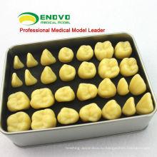 TOOTH01(12573) Качество смолы человеческий зуб Анатомия модель с Коробка сплава портативный Упаковка