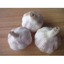 Ail blanc frais et frais, 5,0 cm ou plus, 5 kg en cartons 10 kg