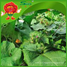 Bardana comestible proveedor de Bardana fresca de China para la venta