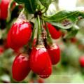 Goji baie de qualité supérieure / sweet goji berry