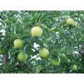 Anti-Diabète Phloridzine 40%, 95%, 98% extrait de racine de pomme