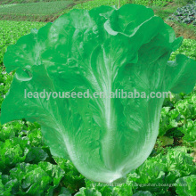 LT06 Huayang haut rendement vert italien graines de laitue entreprises