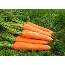 Chinesische neue Ernte Rote frische Karotte