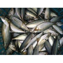 Novo Round Scad Fish (14-18cm)