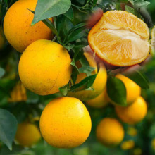 China for Mandarin Orange Fresh orange blossoms for sale export to Bahamas Importers