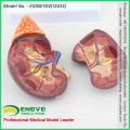 VENDER 12433 Modelo normal da anatomia do rim do tamanho da vida, modelo do rim urinário da anatomia