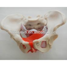 ISO Modelo de pelvis femenino con músculos pélvicos y órganos pélvicos, Modelo Genital Femenino
