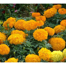 Factory supplied for Potmarigold Calendula African hybrid marigold flower seeds export to Djibouti Manufacturers