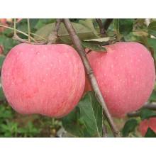 2016 New Fresh Fruits Vermelho FUJI Apple