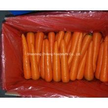 Zanahoria roja fresca para exportar