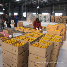 Китайский регулярный поставщик свежего мандаринового мандарина